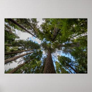 Douglas Fir tree canopy Poster