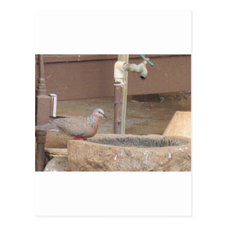 Dove at a fountain postcard