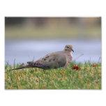Dove Bird Photo Print