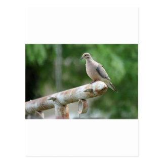 Dove on a Post Postcard