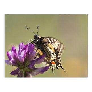 Dove tail butterfly Fotografi postcard