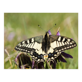 Dove tail butterfly photo postcard