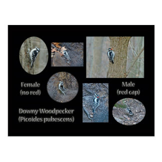 Downy Woodpecker Composite Pictures Items Postcard