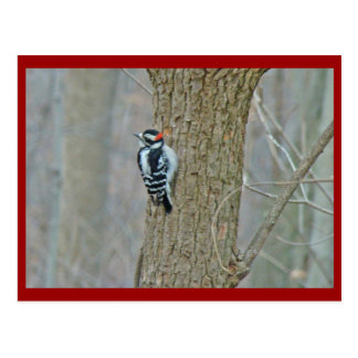 Downy Woodpecker Items Postcard