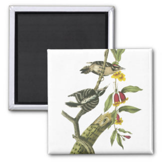 Downy Woodpecker - John Audubon 2 Inch Square Magnet