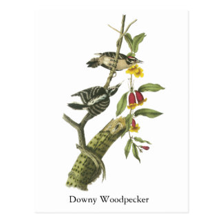 Downy Woodpecker - John Audubon Postcard