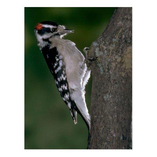 Downy Woodpecker (male) Postcard