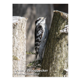 Downy Woodpecker Postcard
