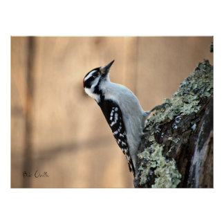 Downy Woodpecker Poster