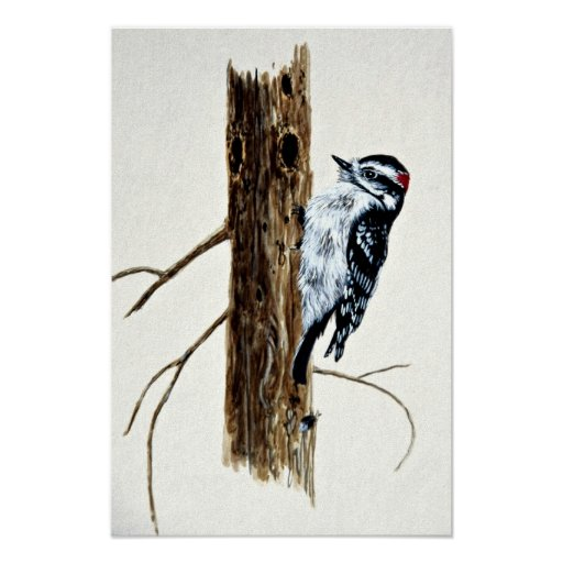 Downy woodpecker posters