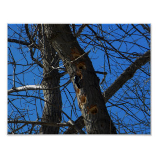 Downy Woodpecker Value Poster Matte Paper