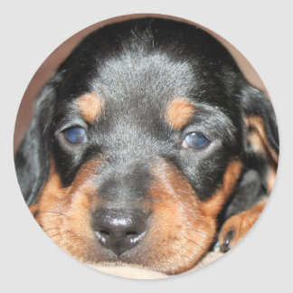 Doxie Pup Classic Round Sticker