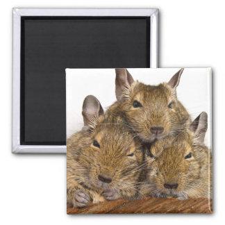 Dozing Degu Trio Animal 2 Inch Square Magnet