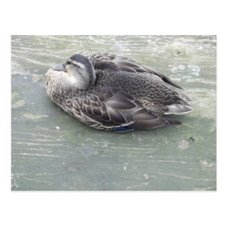 Dozing Duck Postcard