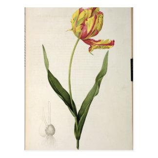 Dracontia del gesneriana de Tulipa, de 'Les Postales
