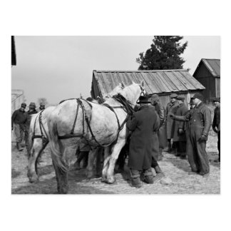 Draft Horse Auction, 1930s Postcard