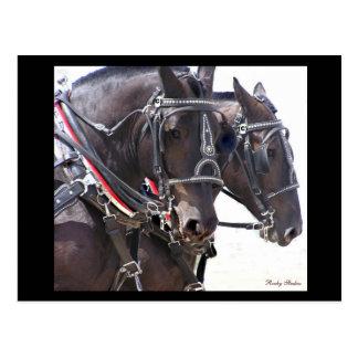 Draft Horses Postcard #1