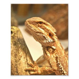 Dragón barbudo fotografías