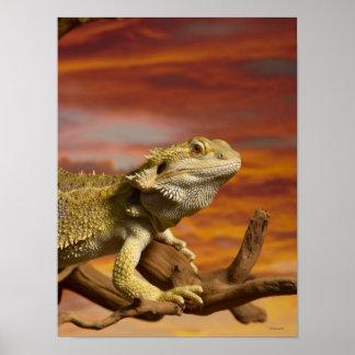 Dragón barbudo (Pogona Vitticeps) en rama, Poster