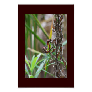Dragonflies Mating Poster