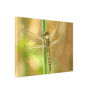dragonfly-348433  dragonfly insect animal wing sum canvas prints