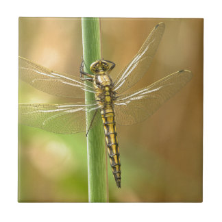 dragonfly-348433  dragonfly insect animal wing sum small square tile