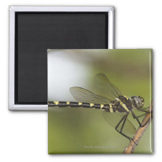Dragonfly 5 2 inch square magnet