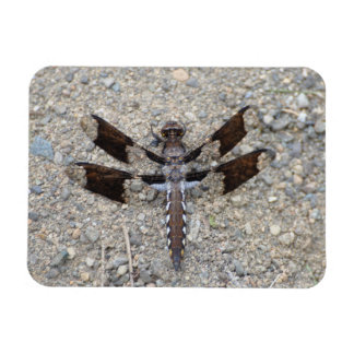 Dragonfly - A Common White-tail Magnet