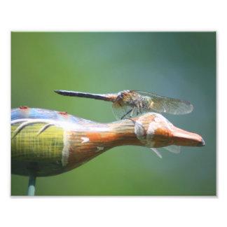 Dragonfly Co Pilot 10x8 Nature Print Photographic Print