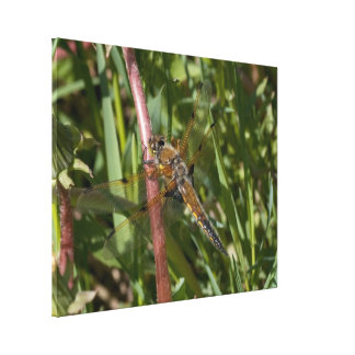Dragonfly in the Weeds Stretched Canvas Print