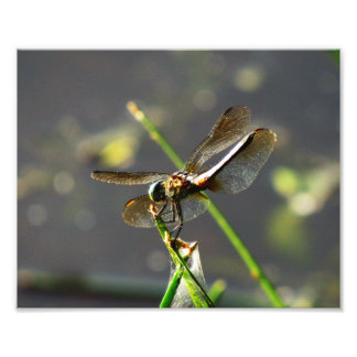 Dragonfly on a Twig Photo Print