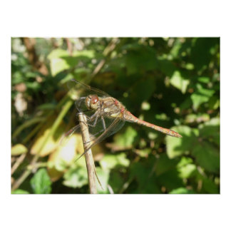 Dragonfly on a Twig Print
