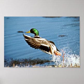 Drake del pato silvestre póster