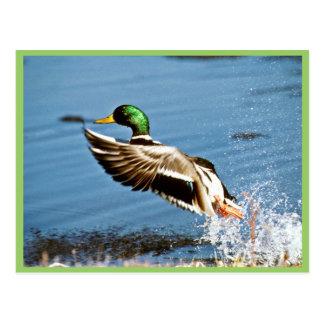 Drake del pato silvestre postal