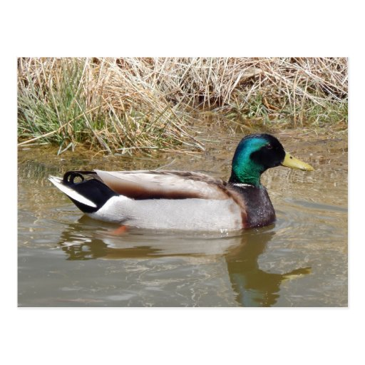 drake mallard duck post cards
