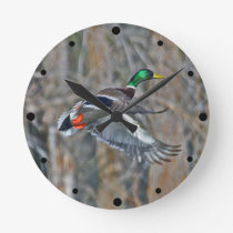 Drake mallard in flight round clock