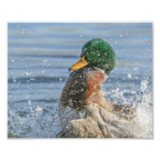 Drake Mallard Making a Big Splash Photo Print
