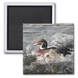 Drake Wood Duck Coming in for a Landing! 2 Inch Square Magnet