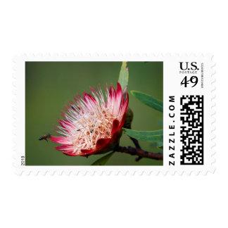 Drakensberg Sugarbush (Protea Dracomontana) Estampilla