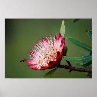 Drakensberg Sugarbush (Protea Dracomontana) Póster