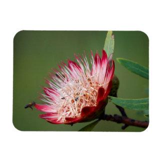 Drakensberg Sugarbush (Protea Dracomontana) Rectangular Photo Magnet