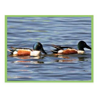 Drakes del pato cuchara septentrional tarjeta postal