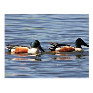 Drakes del pato cuchara septentrional postal
