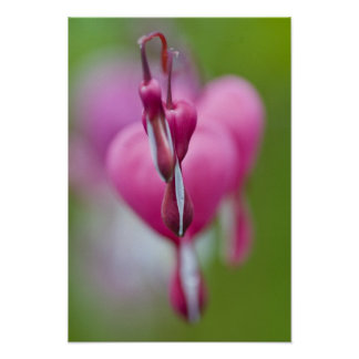 Dramatic color and shape of bleeding heart poster