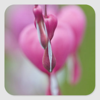 Dramatic color and shape of bleeding heart square sticker