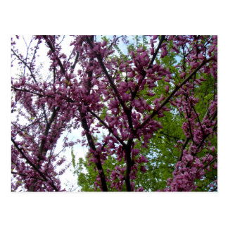 Dramatic Deep Pink Flowering Trees New York City Postcard