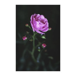 Dramatic Rose Gallery Wrapped Canvas