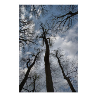 Dramatic Tulip Poplar Trees Cloudy Blue Sky Poster