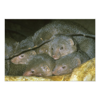 Drawf Mongoose, Helogale undulata), family Photo Print