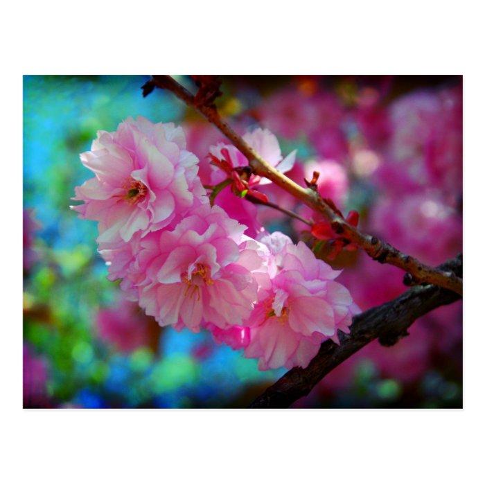 Dreamland, Cherry blossom in Korea Postcard